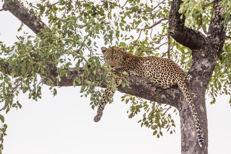 Λεοπάρδαλη στο εθνικό πάρκο Kruger, Νότια Αφρική στοκ εικόνες