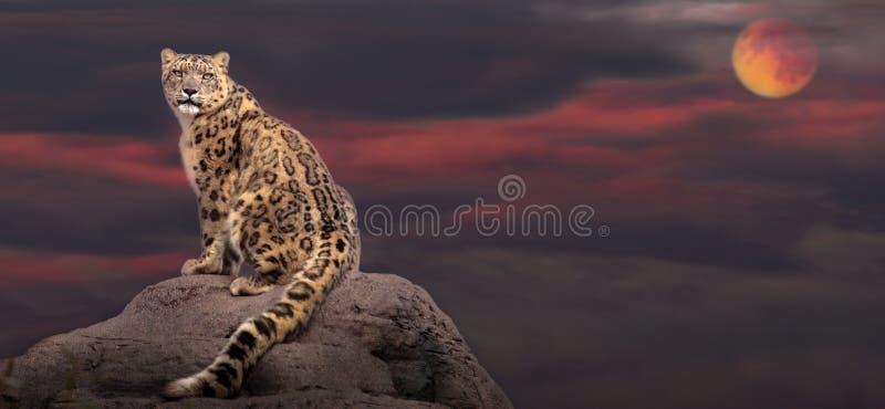 Λεοπάρδαλη χιονιού στο φως φεγγαριών στοκ εικόνα