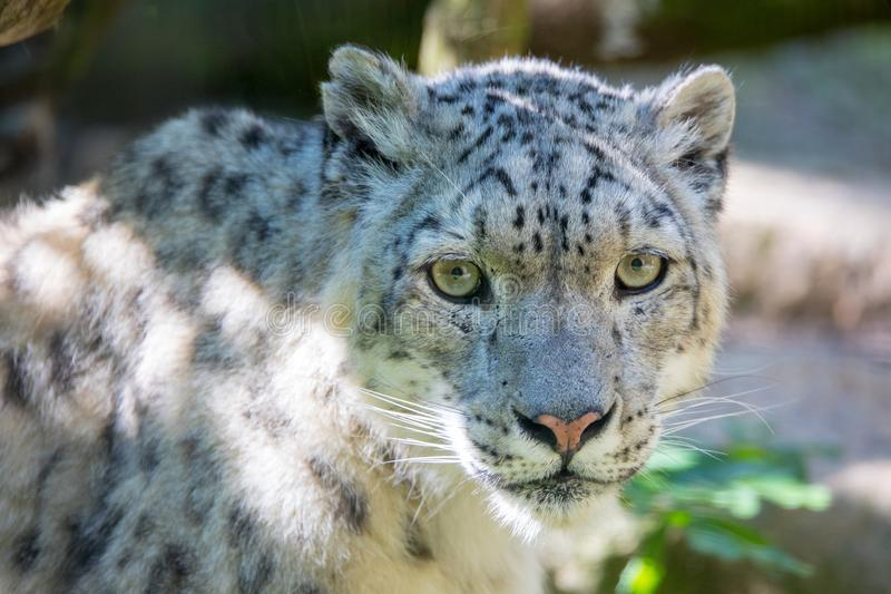 Λεοπάρδαλη χιονιού - Irbis στοκ φωτογραφία με δικαίωμα ελεύθερης χρήσης
