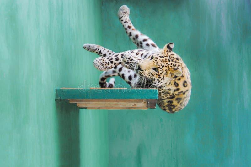 Λεοπάρδαλη που πέφτει από το ράφι στοκ εικόνες