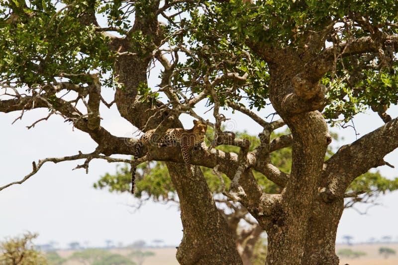 Λεοπάρδαλη στο δέντρο στοκ εικόνες