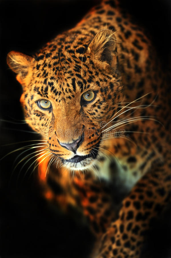 Λεοπάρδαλη στοκ φωτογραφία με δικαίωμα ελεύθερης χρήσης