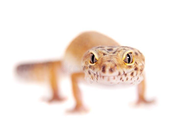 Λεοπάρδαλη Gecko σε ένα άσπρο υπόβαθρο στοκ φωτογραφίες με δικαίωμα ελεύθερης χρήσης