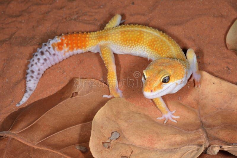 Λεοπάρδαλη Gecko στοκ φωτογραφίες με δικαίωμα ελεύθερης χρήσης