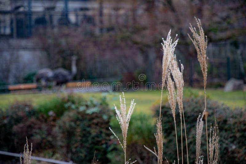 Λεπτά άσπρα κίτρινα panicles στο σκοτεινό μουτζουρωμένο υπόβαθρο Διάφορα ξηρά spikelets στους ευθείς μίσχους των δημητριακών φυτε στοκ φωτογραφίες με δικαίωμα ελεύθερης χρήσης