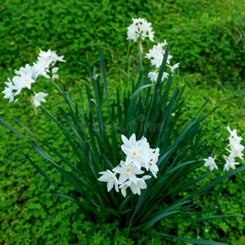 Λεπτά άσπρα λουλούδια ναρκίσσων στα πράσινα υπόβαθρα χλόης στοκ φωτογραφία με δικαίωμα ελεύθερης χρήσης