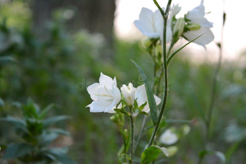 Λεπτά άσπρα λουλούδια του ροδάκινο-με φύλλα bellflower στο ναυπηγείο πόλεων Persicifolia Alba Campanula στοκ φωτογραφίες με δικαίωμα ελεύθερης χρήσης