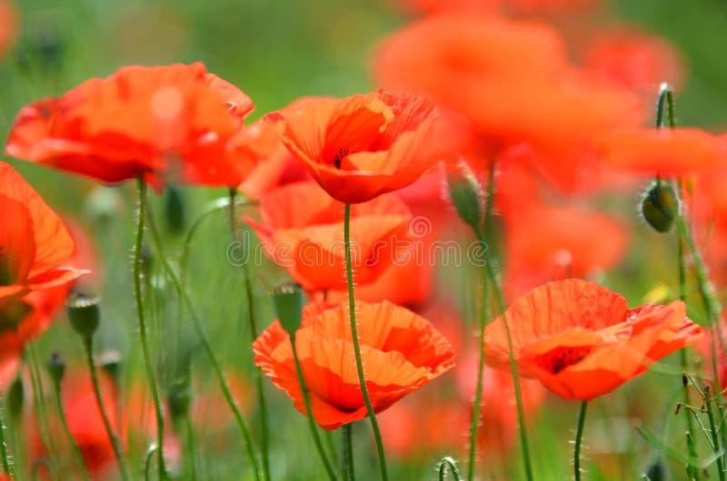 Λεπτά λουλούδια σπόρου παπαρουνών σε έναν τομέα στοκ φωτογραφίες με δικαίωμα ελεύθερης χρήσης