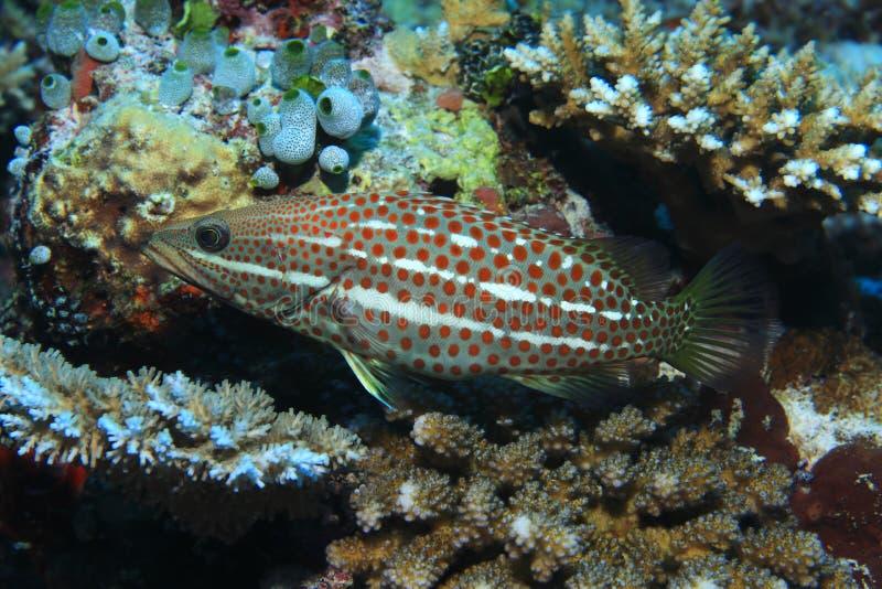 Λεπτά grouper ψάρια στοκ εικόνα με δικαίωμα ελεύθερης χρήσης