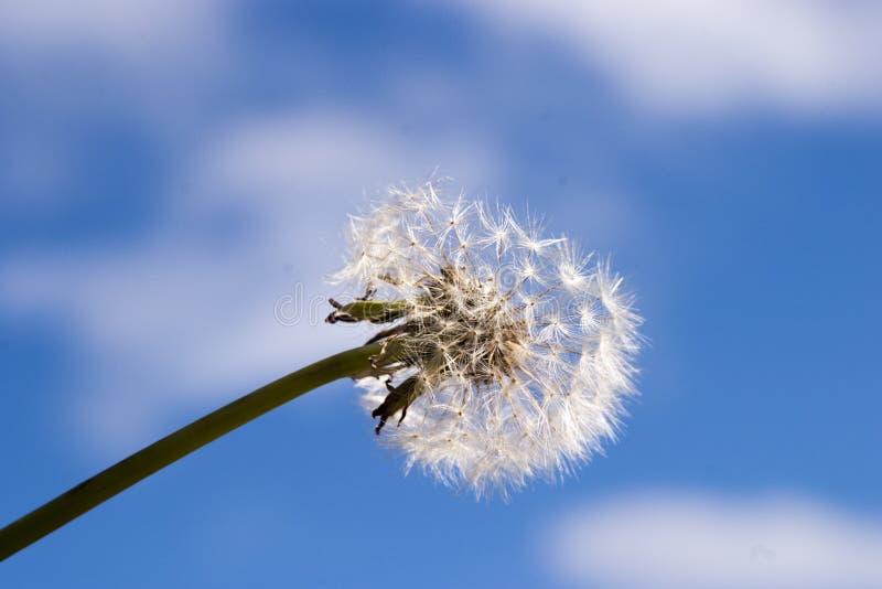 Λεπτή πικραλίδα ενάντια στον ουρανό στοκ φωτογραφία με δικαίωμα ελεύθερης χρήσης