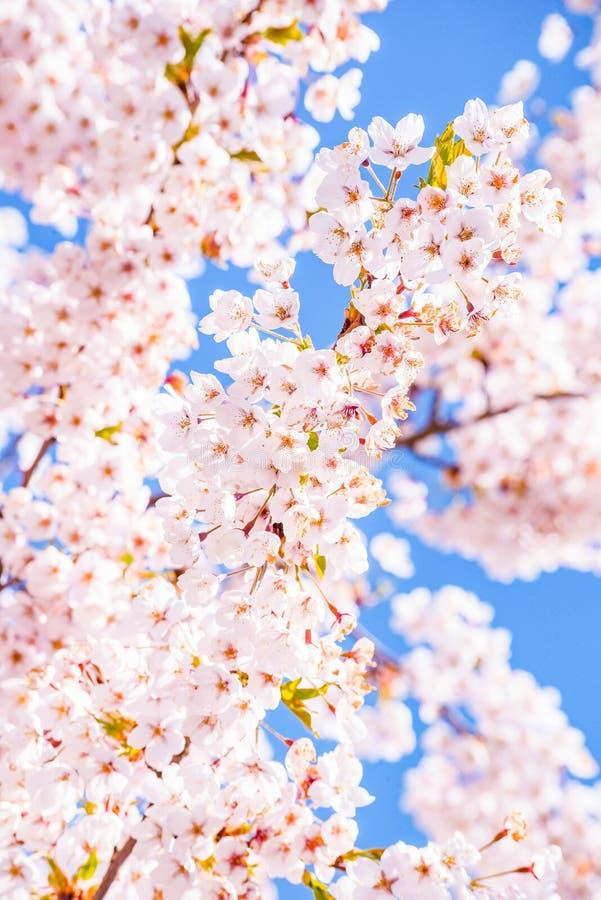 Λεπτομέρειας δέντρων ανθών κερασιών ρόδινου και μπλε υπόβαθρο,