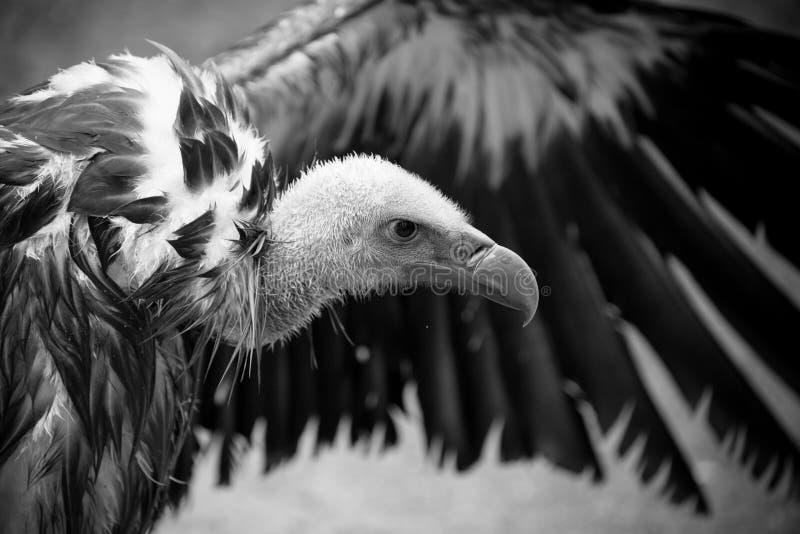Λεπτομέρεια γύπων Griffon του κεφαλιού με το εκτενές φτερό στοκ εικόνα