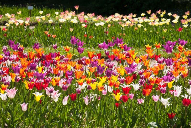 Λεπτομέρεια κήπων τουλιπών στοκ φωτογραφία με δικαίωμα ελεύθερης χρήσης
