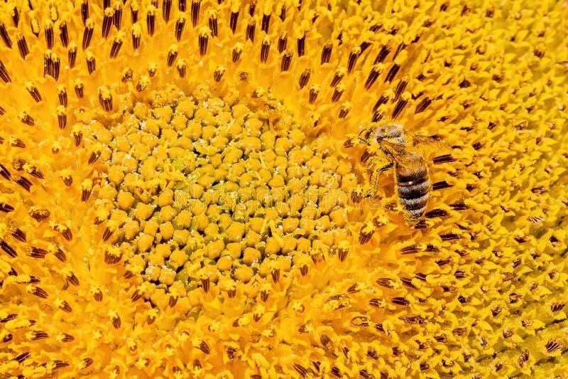Λεπτομέρεια κινηματογραφήσεων σε πρώτο πλάνο των apis μελιού μελισσών που συλλέγουν τη γύρη από τον ηλίανθο στον κήπο στοκ εικόνα