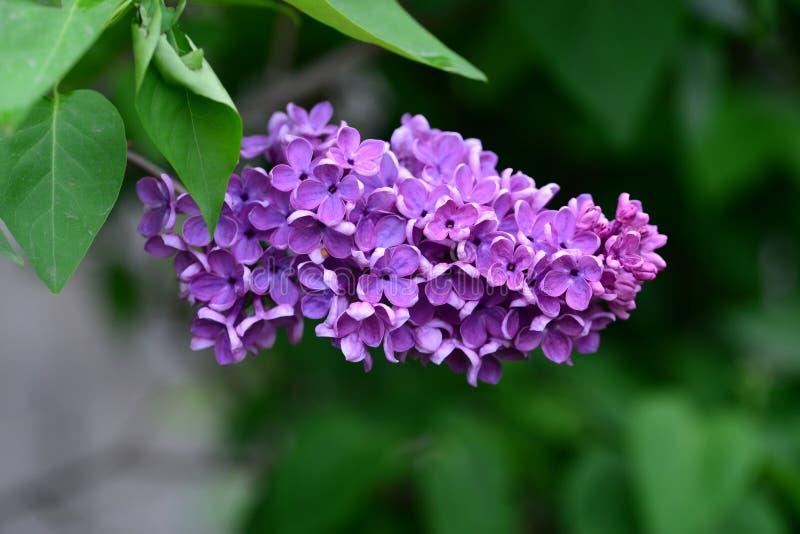 Λεπτομέρεια λουλουδιών κρίνων στοκ εικόνα