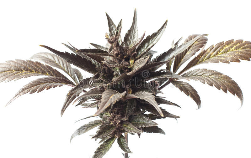 Λεπτομέρεια λουλουδιών άνθισης καννάβεων μαριχουάνα στοκ εικόνα