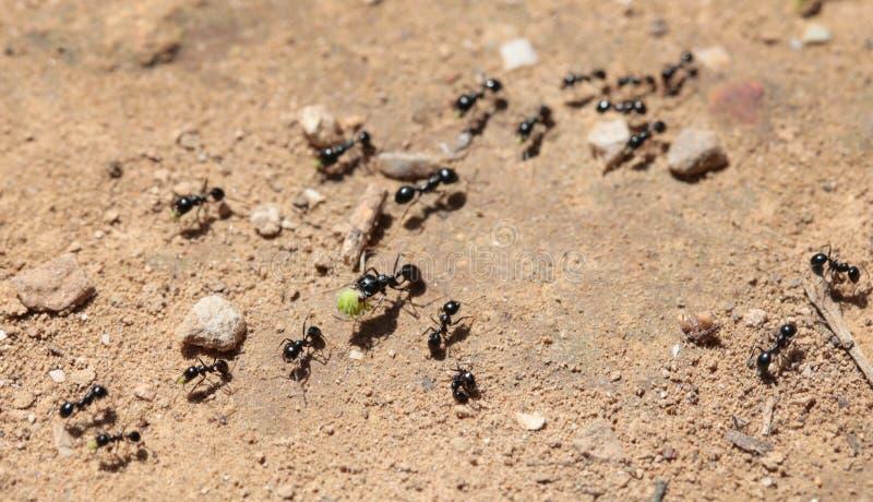 Λεπτομέρεια πορειών μυρμηγκιών στοκ εικόνες με δικαίωμα ελεύθερης χρήσης