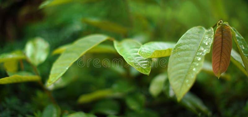 Λεπτομέρεια στα μεγάλα παχιά πράσινα φύλλα με τις πτώσεις της δροσιάς πρωινού, ρηχό βάθος της φωτογραφίας τομέων, ευρύ έμβλημα με στοκ φωτογραφία με δικαίωμα ελεύθερης χρήσης