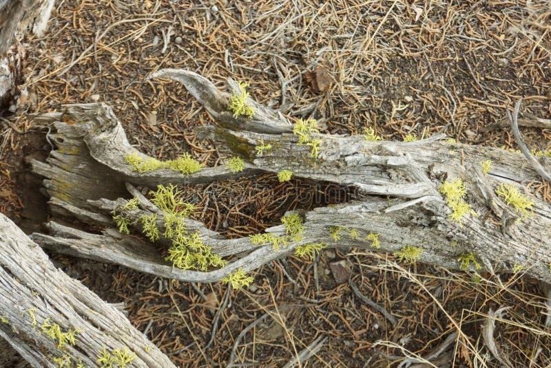 Λεπτομέρεια συντριμμιών δέντρων ιουνιπέρων σε αργά το απόγευμα στοκ φωτογραφία με δικαίωμα ελεύθερης χρήσης