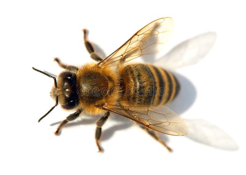Λεπτομέρεια της μέλισσας ή της μέλισσας, Apis Mellifera στοκ εικόνα