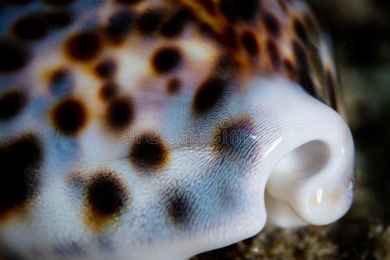 Λεπτομέρεια της τίγρης Cowrie Shell διαβίωσης στοκ εικόνες