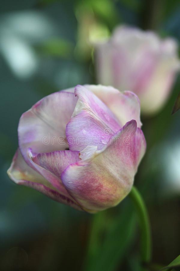 Λεπτομέρεια της τουλίπας της Shirley που αυξάνεται την άνοιξη τον κήπο στοκ εικόνες με δικαίωμα ελεύθερης χρήσης