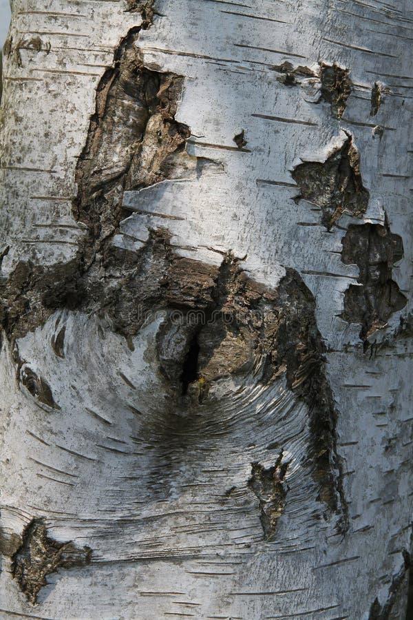 Λεπτομέρεια του ασημένιου δέντρου σημύδων στοκ φωτογραφία με δικαίωμα ελεύθερης χρήσης