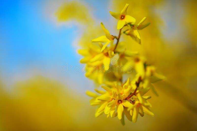 Λεπτομέρεια του κίτρινου άνθους forsythia στοκ εικόνα με δικαίωμα ελεύθερης χρήσης