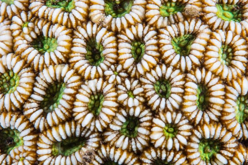 Λεπτομέρεια του κοραλλιού Polyps στην Ινδονησία στοκ φωτογραφίες