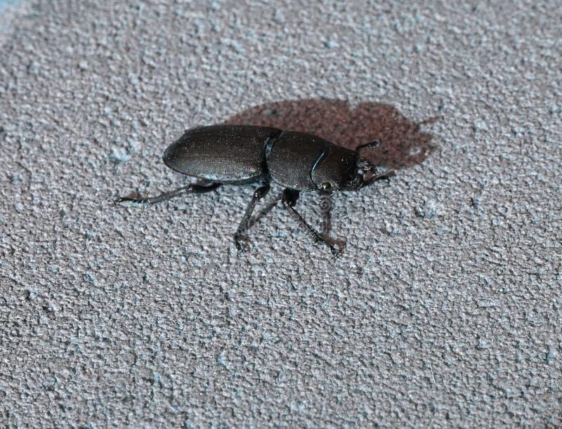 Λεπτομέρεια του μικρότερου parallelipipedus Dorcus κανθάρων αρσενικών ελαφιών στοκ εικόνες με δικαίωμα ελεύθερης χρήσης