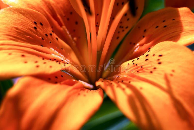 Λεπτομέρεια του πορτοκαλιού κρίνου στοκ εικόνα με δικαίωμα ελεύθερης χρήσης