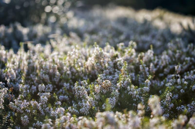 Λεπτομέρεια των ανθίζοντας φυτών ερείκης στοκ φωτογραφία με δικαίωμα ελεύθερης χρήσης