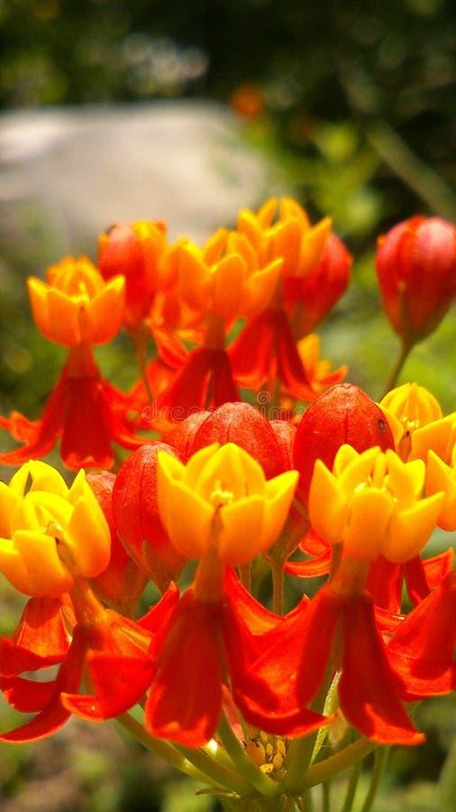 Λεπτομέρεια των κίτρινων και πορτοκαλιών λουλουδιών στοκ εικόνα