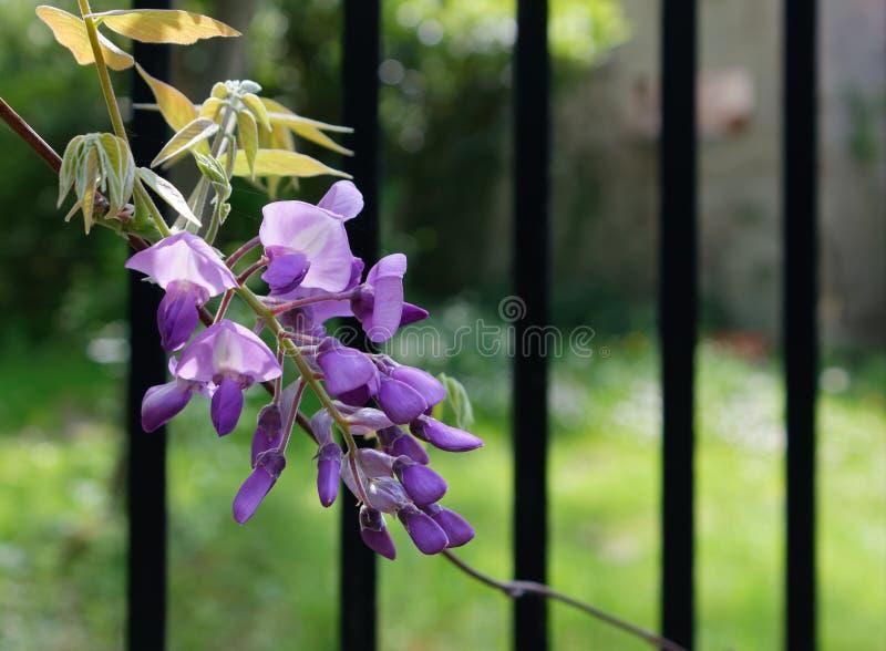 Λεπτομέρεια των λουλουδιών Wisteria στοκ φωτογραφίες