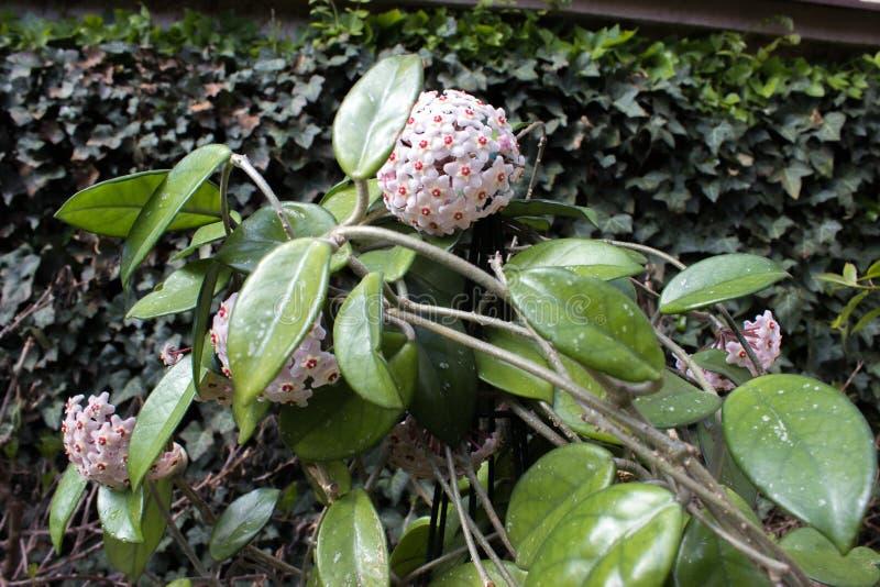 Λεπτομέρεια των λουλουδιών Hoya εγκαταστάσεων κεριών του carnosa στοκ εικόνες