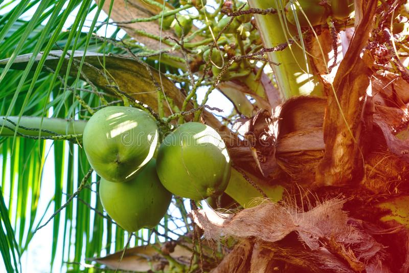 Λεπτομέρεια των φοινίκων καρύδων την ηλιόλουστη ημέρα στο Ρίο ντε Τζανέιρο Πολλές πράσινες καρύδες κρεμούν το φυσητήρα τα μεγάλα  στοκ φωτογραφίες