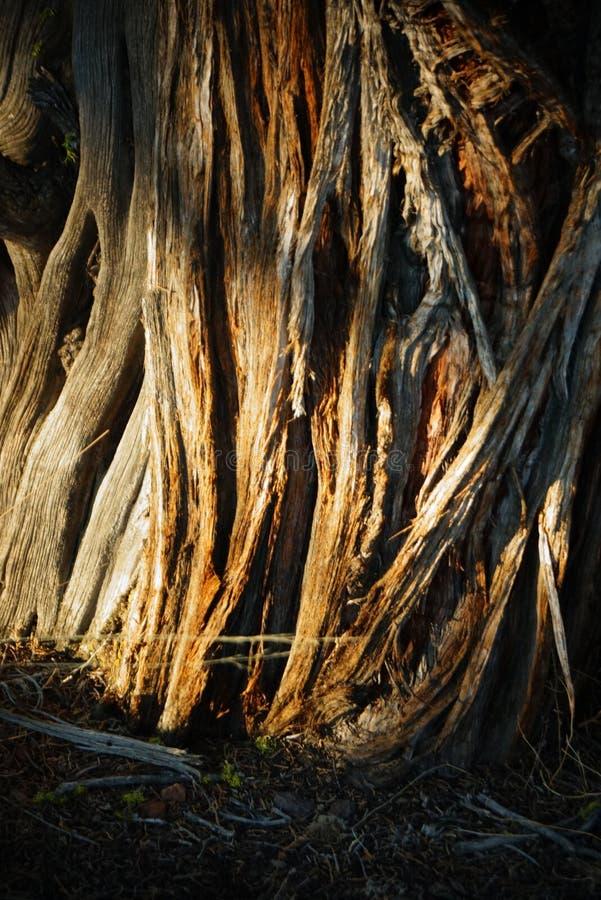 Λεπτομέρεια φλοιών δέντρων ιουνιπέρων σε αργά το απόγευμα στοκ εικόνες