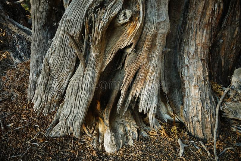 Λεπτομέρεια φλοιών δέντρων ιουνιπέρων σε αργά το απόγευμα στοκ φωτογραφίες με δικαίωμα ελεύθερης χρήσης