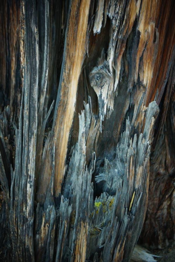 Λεπτομέρεια φλοιών δέντρων ιουνιπέρων σε αργά το απόγευμα στοκ φωτογραφίες