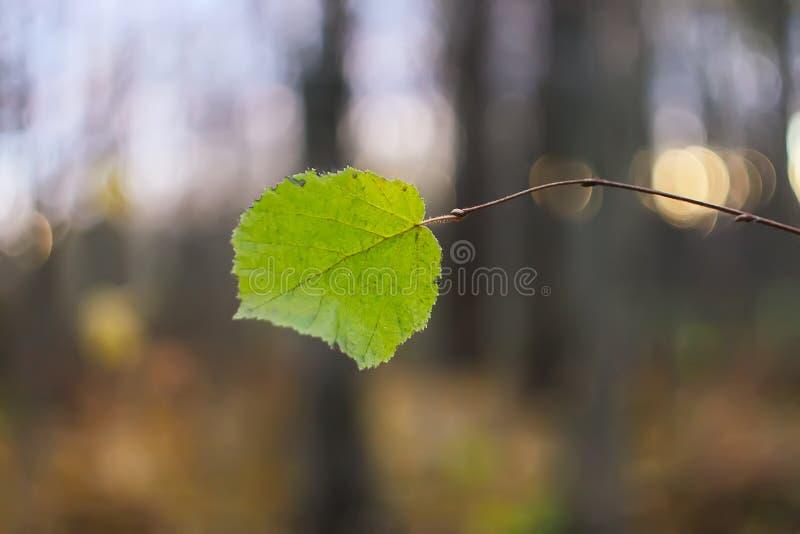 Λεπτομέρεια φύσης φθινοπώρου Πράσινο φύλλο στο γυμνό κλάδο δέντρων στοκ εικόνες