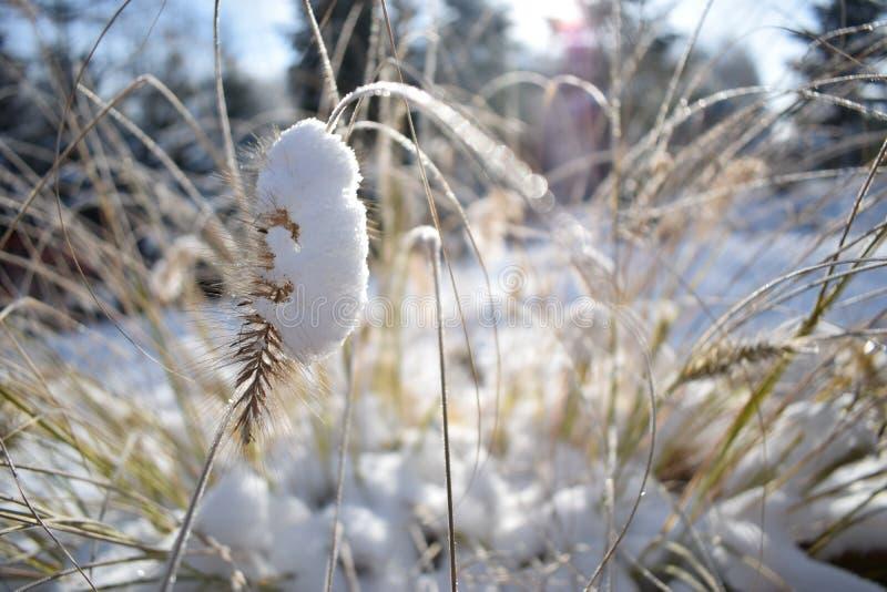Λεπτομέρεια χειμώνα Λεπίδες της χλόης στο χιόνι Συγκεχυμένο φως ήλιων στοκ εικόνες με δικαίωμα ελεύθερης χρήσης