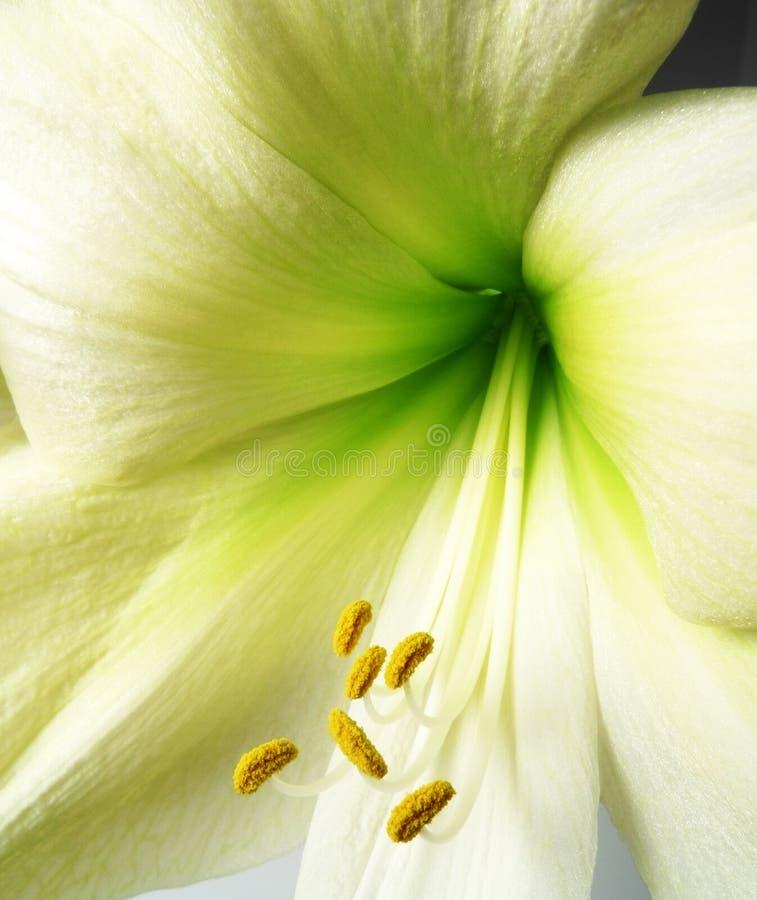 λεπτομέρεια amaryllis στοκ εικόνες με δικαίωμα ελεύθερης χρήσης