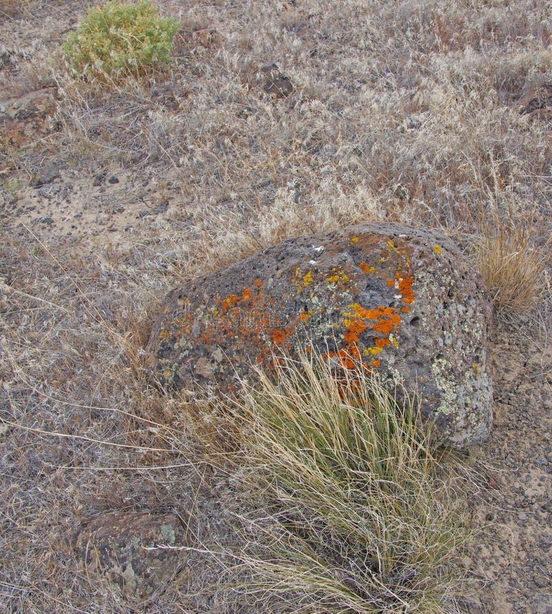 Λεπτομέρειες, λαμπρά χρωματισμένη λειχήνα στο ηφαιστειακό boulde στοκ εικόνες