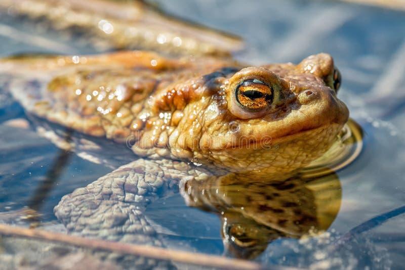 Λεπτομέρειες βάτραχου - Bufo Bufo στοκ εικόνα με δικαίωμα ελεύθερης χρήσης