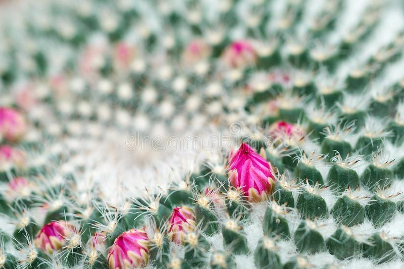 Λεπτομέρειες κινηματογραφήσεων σε πρώτο πλάνο ενός κάκτου Mammillaria Geminispina με τα μικρά λουλούδια Καλλιέργεια στο χώμα στο  στοκ φωτογραφία