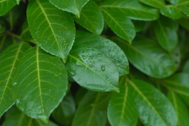 Λεπτομέρειες σταγόνων νερού σε πολύ πράσινα φύλλα στοκ φωτογραφία με δικαίωμα ελεύθερης χρήσης