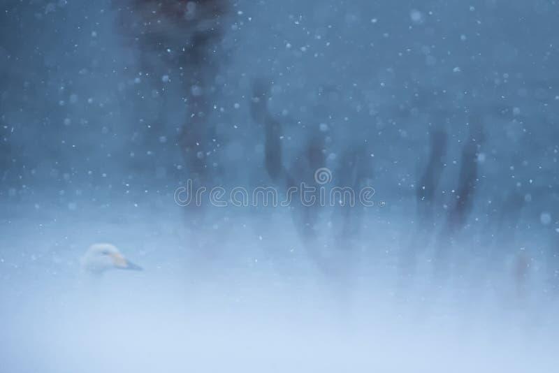 Λεπτομέρειες των καθαρόαιμων Swans Cygnus cygnus στη λίμνη του Kussharo ενώ χιονίζει Η μοναδική φυσική ομορφιά του Χοκάιντο, στην στοκ φωτογραφίες