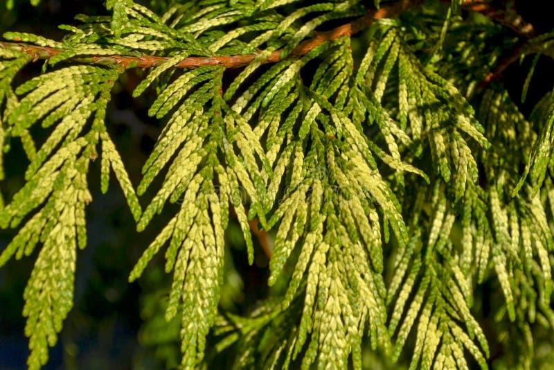 Λεπτομέρειες των φύλλων δέντρων πεύκων στοκ εικόνες με δικαίωμα ελεύθερης χρήσης