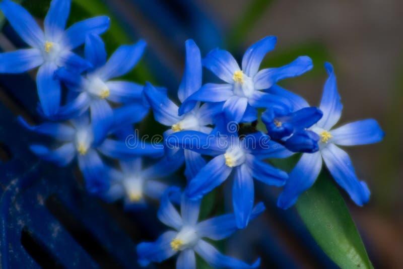 Λεπτομερής μακρο στενός επάνω των μπλε λουλουδιών scilla στοκ εικόνες με δικαίωμα ελεύθερης χρήσης