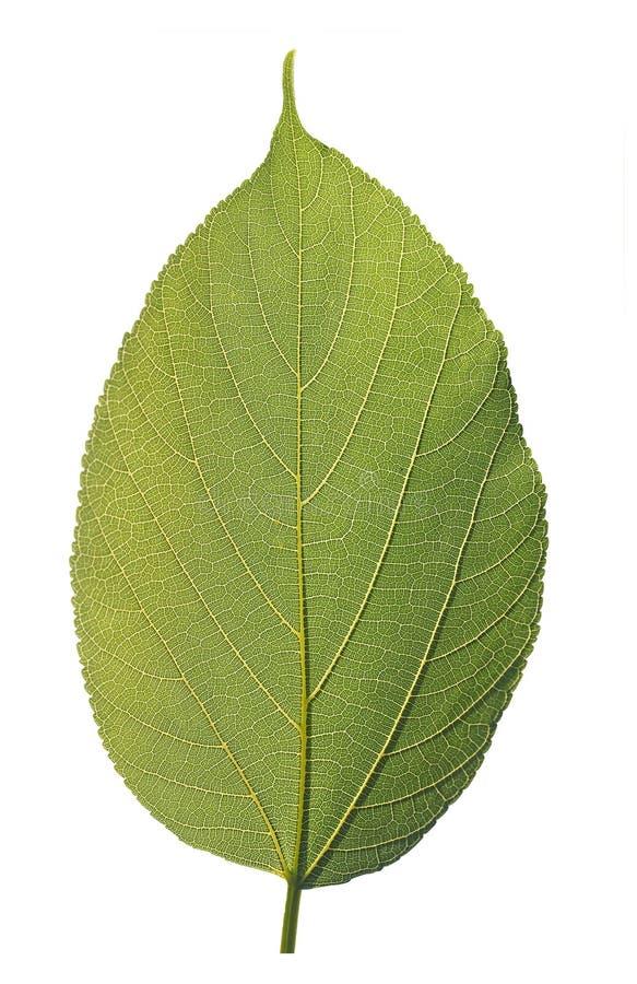 λεπτομερής πράσινη υγιής ιδιαίτερα μακρο φωτογραφία φύλλων στοκ φωτογραφίες